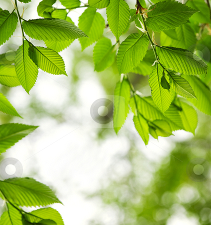 Green spring leaves stock photo, Green spring elm leaves with copy space by Elena Elisseeva