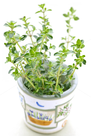 Fresh thyme on white background stock photo, Fresh green thyme in a cup closeup on white background by Elena Elisseeva