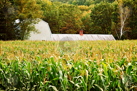 Autumn cornfield stock photo, Barn hidden behind a cornfield by HD Connelly