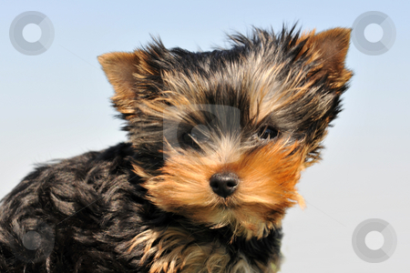 Puppy yorkshire terrier stock photo, Portrait of a puppy purebred yorkshire terrier on a blue sky by Bonzami Emmanuelle