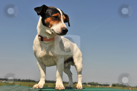 Jack russel terrier stock photo, Portrait of a purebred jack russel terrier in a blue sky by Bonzami Emmanuelle