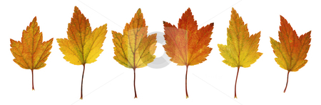Autumn leaves stock photo, Autumn leaves from currant bush isolated on white by Stocksnapper