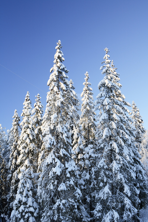 Spruce forest stock photo, Arctic snowy spruce forest in winter by Stocksnapper