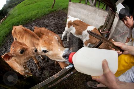 Feeding hungry calves on Costa Rican farm stock photo, Feeding hungry calves on Costa Rican dairy farm by Scott Griessel