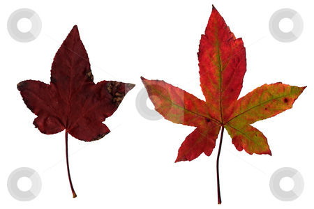 Maple leaves stock photo, Maple leaves isolated on white background. by Homydesign 