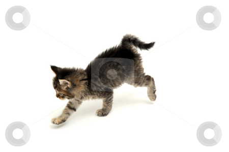 Gray Kitten Running stock photo, Running young  gray tiger stripe  kitten against a light colored background by Lynn Bendickson