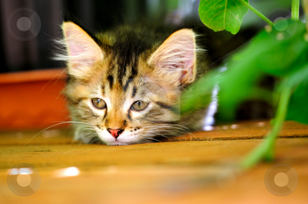 Bored Gray Kitten stock photo, Bored gray tiger striped kitten laying on wooden decking looking sad by Lynn Bendickson