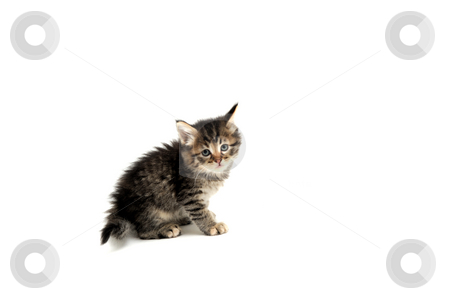 Gray Kitten On White Background stock photo, Young gray tiger stripe kitten against a light colored background by Lynn Bendickson