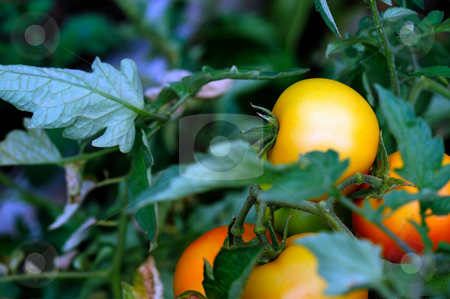Unripe Tomatos stock photo, Fresh homegrown Orange Tomatoes growing on the vine with green leaves growing around the fruit by Lynn Bendickson