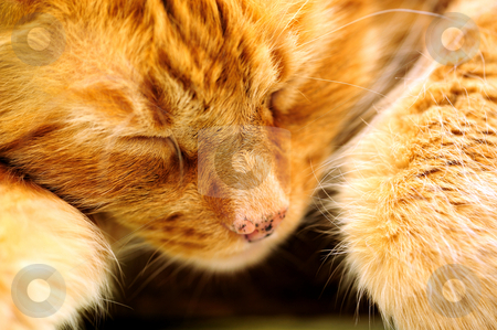 Sleeping Orange Cat stock photo, Close-up of an orange Cat peacefully sleeping away the day by Lynn Bendickson