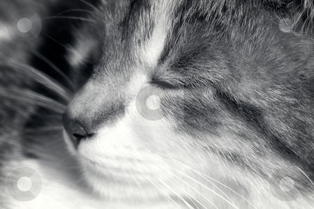Happy kitten stock photo, A close up of a happy kitten's face. Black and white toned soft focus photo by Gordan Poropat