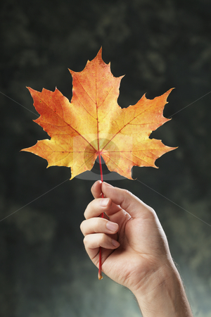 Autumn maple stock photo, A Hand holding an orange autumn maple leaf by Stocksnapper 