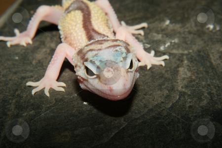 Leopard gecko (Eublepharis macularius) stock photo, Leopard gecko (Eublepharis macularius), the cultivar