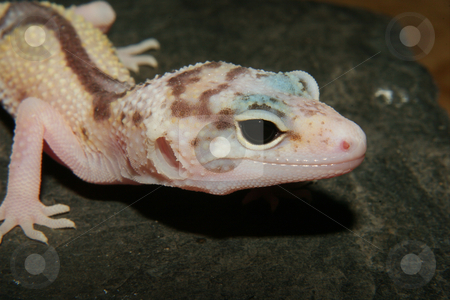 Leopard gecko (Eublepharis macularius) stock photo, Leopard gecko (Eublepharis macularius), the cultivar 