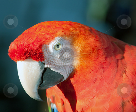 Colorful parrot stock photo, Colorful Parrot by Gunter Nezhoda