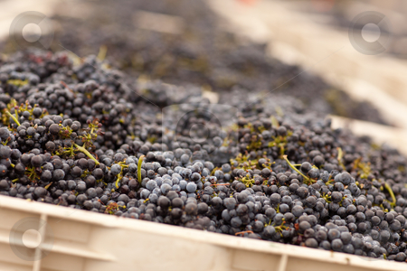 Harvested Red Wine Grapes in Crates stock photo, Lush Harvested Red Wine Grapes in Crates. by Andy Dean