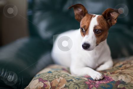 Jack Russell Terrier Puppy Portrait on Pillow stock photo, Jack Russell Terrier Puppy Portrait with Narrow Depth of Field. by Andy Dean