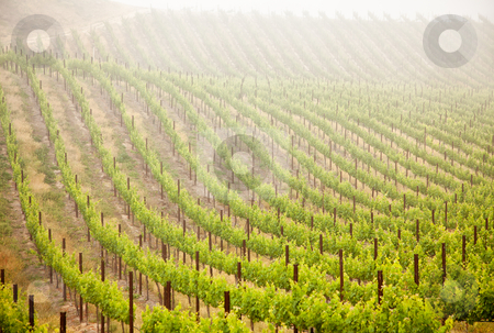 Beautiful Lush Grape Vineyard in The Morning Sun and Mist stock photo, Beautiful Lush Grape Vineyard In The Morning Mist and Sun with Room for Your Own Text. by Andy Dean