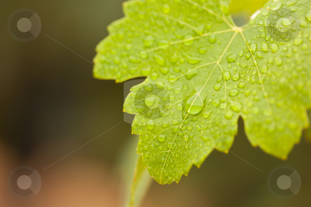 Lustrous Green Grape Leaf with Water Drops stock photo, Lustrous Green Grape Leaf with Water Drops Macro Image. by Andy Dean