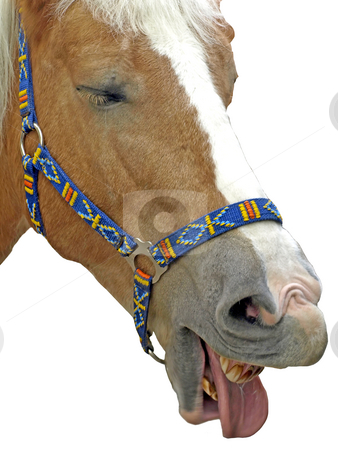 Horse laughing stock photo, Horse laughing by Hans-Joachim Schneider