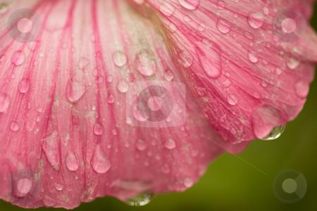 Raindrops stock photo, Raindrops on flower petals, macrograph, shallow depth of field by Alex Varlakov