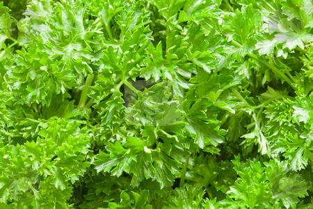 Parsley stock photo, Parsley (Petroselinum) is a bright green biennial herb, often used as spice by Alex Varlakov