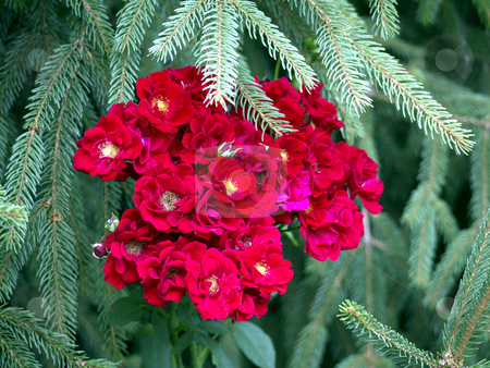Roses and fir stock photo, Roses and fir tree by Heike Jestram