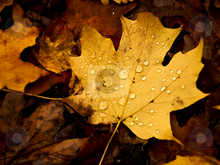 Autumn leaf stock photo, Close-up picture of a beautiful autumn leaf with water droplets by ikostudio