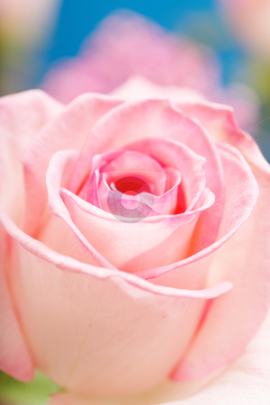 Pink Rose stock photo, Pink Hybrid Tea Rose. Short depth-of-field by Stocksnapper