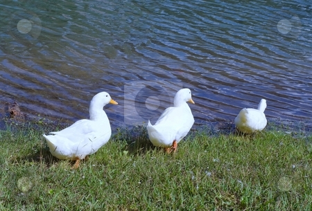 Ducks in a Row stock photo, Three white ducks entering the water in single file by Leslie Murray