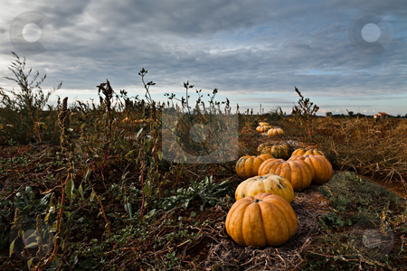 Pumpkins Field stock photo, Pumpkins in a field under a dramatic sky by Fred DE BAILLIENCOURT