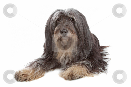 Tibetan Terrier stock photo, Tibetan Terrier isolated on white by Erik