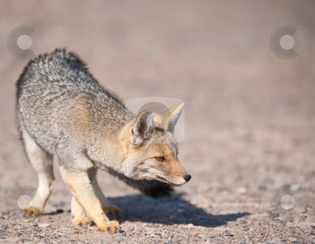 Patagonian  Grey Fox (Dusicyon culpaeus). stock photo, Patagonian  Grey Fox (Dusicyon culpaeus) in desert landscape. by Pablo Caridad