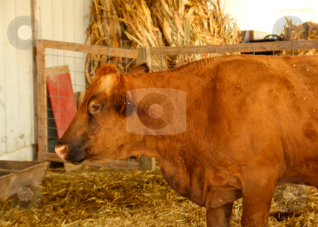 Cow stock photo, Cow in a pen on the farm. by Jamie Slavy