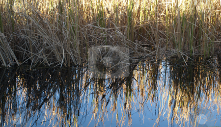 Grass on th edge stock photo, Grass along the edge of  a lake, reflecting off the water by Tim Markley
