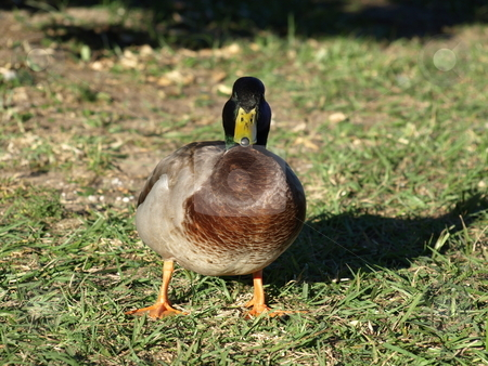Duck up close stock photo, Duck on the grass checking things out. by Tim Markley