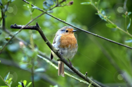 Robin red breast stock photo, Robin red breast in leafy green tree outdoors. by Martin Crowdy