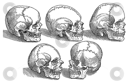 Five human skulls stock photo, Illustration of five different human skulls on white background. Engraving sourced from book by Andreas Vesalius,