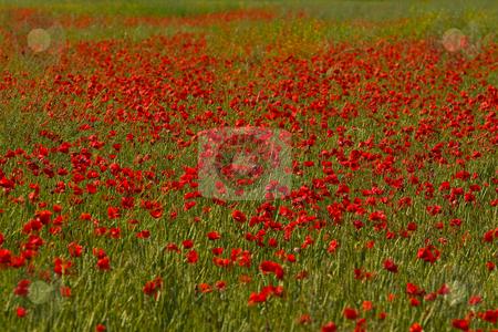 Mohnbl?ten - Poppy stock photo, Der Klatschmohn (Papaver rhoeas), auch Mohnblume oder Klatschrose genannt, ist eine Pflanzenart aus der Familie der Mohngew?chse (Papaveraceae).The Corn Poppy, Field Poppy, Flanders Poppy, or Red Poppy is the wild poppy of agricultural cultivation by Wolfgang Heidasch