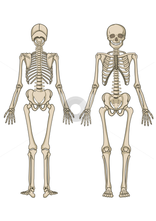 Human skeleton in vector stock vector clipart, Human skeleton, bone, anatomy, biology and skull in vector by Shamsul Ismin Tumin
