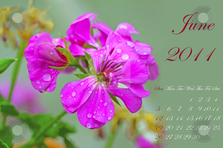 June 2011 stock photo, Page of 2011 calendar for June, with pink geranium over green by Fabio Alcini