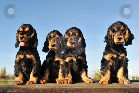 Puppies english cocker stock photo, Portrait of four puppies purebred english cocker on a blue sky by Bonzami Emmanuelle