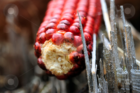Red Corn stock photo, A single cob of red Indian Corn viewed close-up  showing the color details of the kernels by Lynn Bendickson