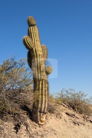 Cactus in a desert landscape. stock photo, Cactus in a desert landscape, northern argentina. by Pablo Caridad