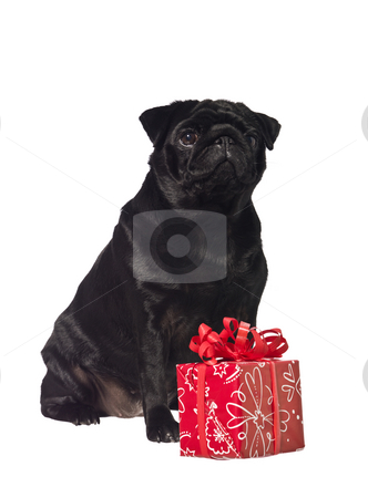 Black dog with a gift stock photo, Black dog with a gift isolated on a white background by Anne-Louise Quarfoth