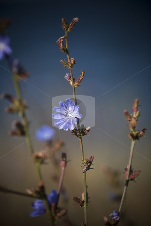 Blue flower with short focal depth stock photo, Blue flower with short focal depth by Anne-Louise Quarfoth