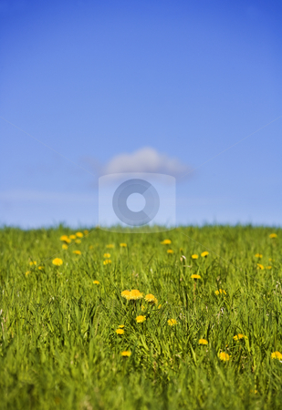 Field with dandelions and a blue sky stock photo, Field with dandelions towards blue sky by Anne-Louise Quarfoth