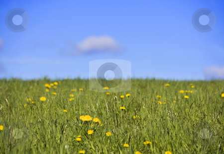 Field with dandelions and a blue sky stock photo, Field with dandelions and a blue sky by Anne-Louise Quarfoth