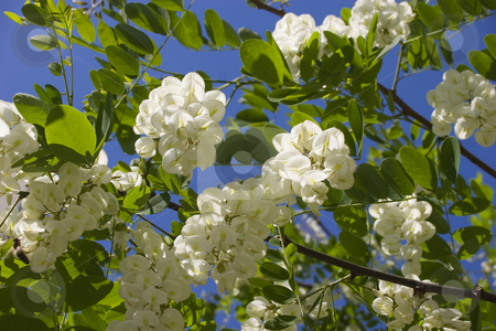 White acacia blossoms stock photo, Blossoming branches of a white acacia on a blue sky background by Nadezhda Shour