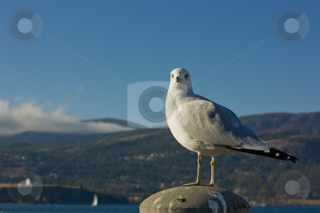 Gull 1 stock photo, A big white gull watching horizon in a sunny day by Anatoliy Nykilchyk